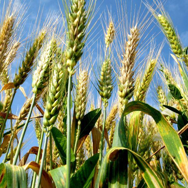 Varietate de opțiuni de grâu, element, opțiuni Vector png | PNGEgg